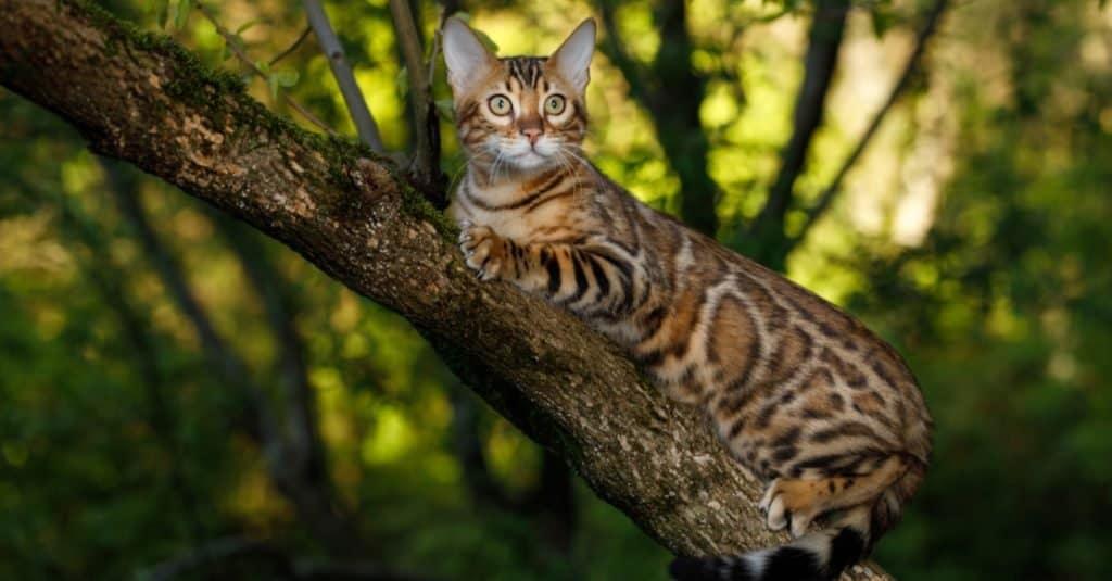 Razas de gatos más caras: Bengala