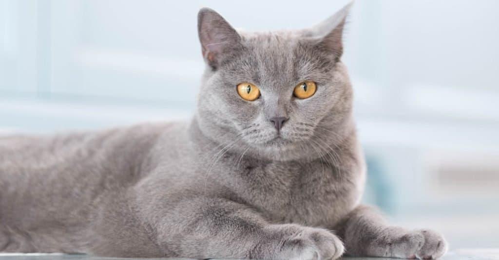 Razas de gatos más caras: British Shorthair