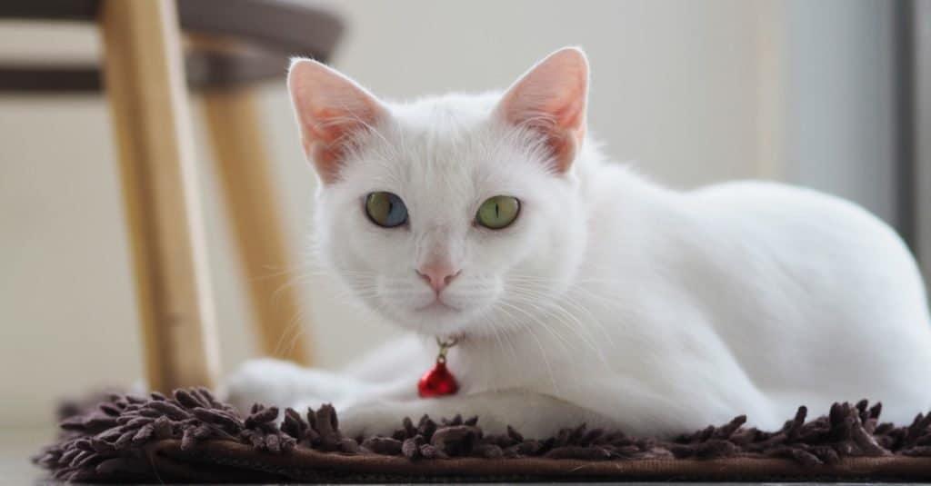 Razas de gatos más caras: Khao Manee