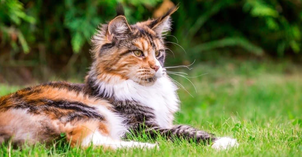Razas de gatos más caras: Maine Coon