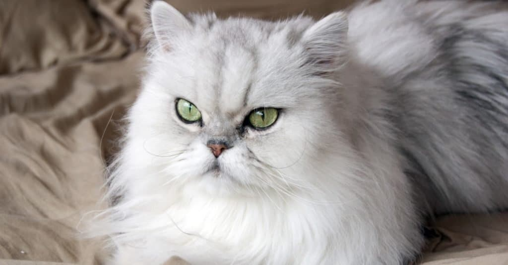 Razas de gatos más caras: Persa