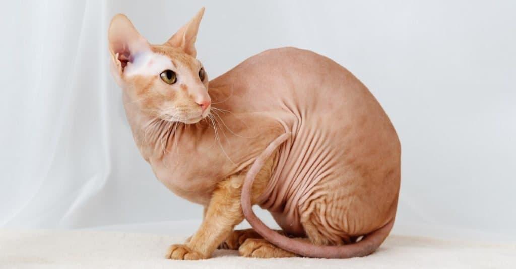 Razas de gatos más caras: Peterbald