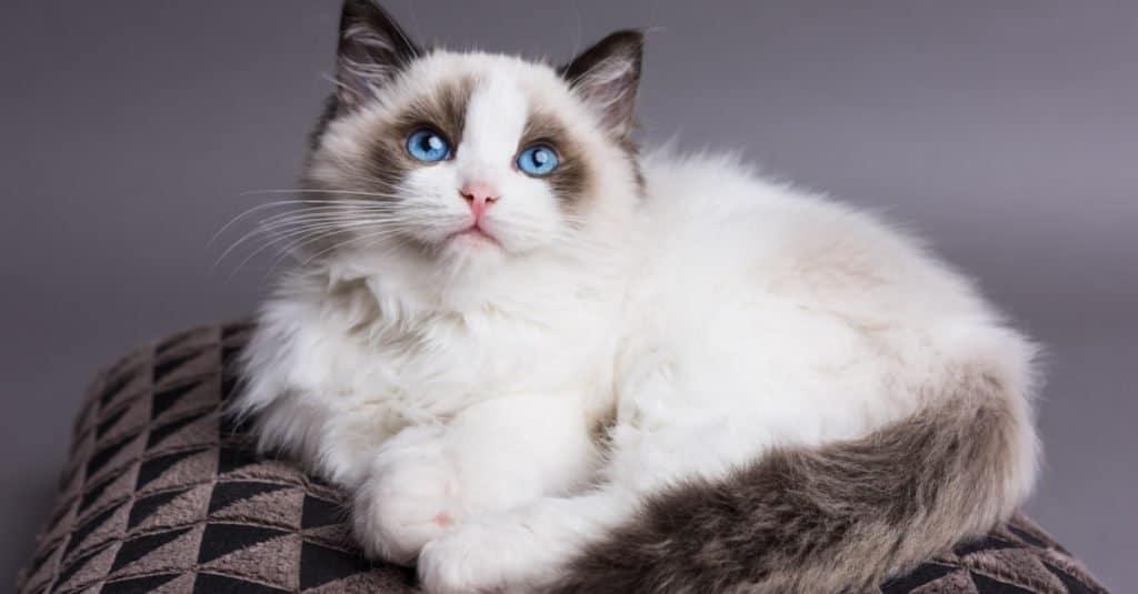 Razas de gatos más caras: Ragdoll