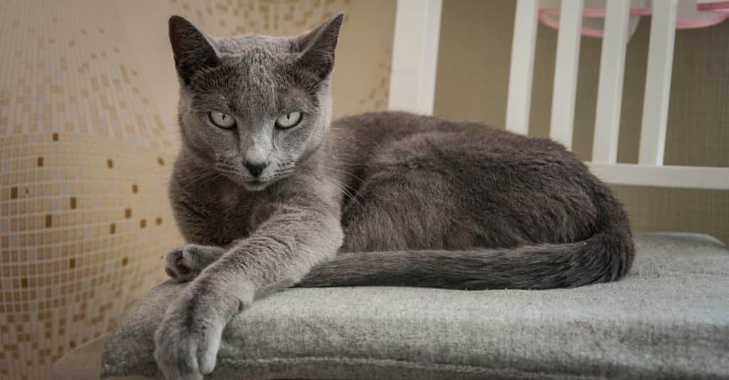 Razas de gatos más caras: azul ruso