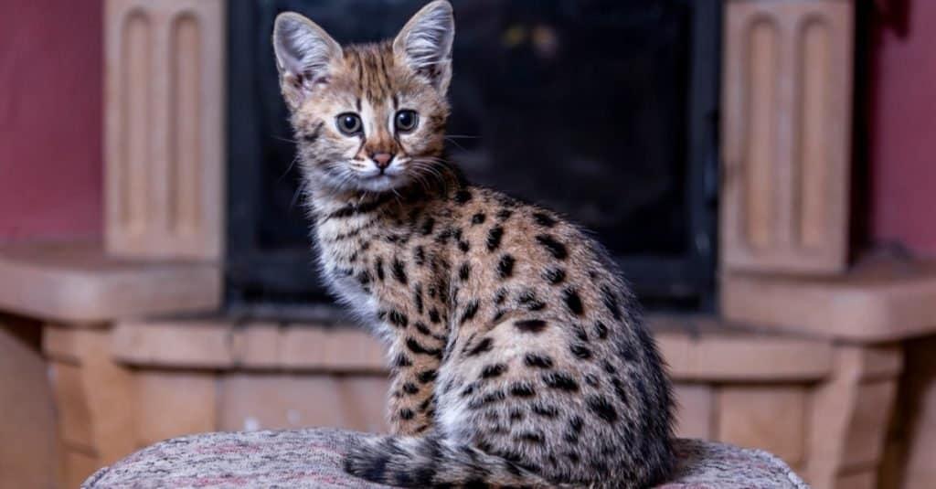Razas de gatos más caras: Savannah Cat