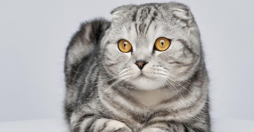 Razas de gatos más caras: Scottish Fold