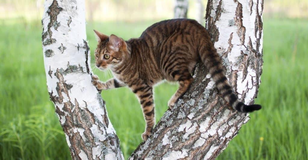 Razas de gatos más caras: Toyger