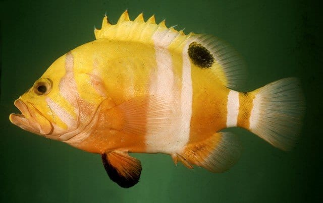 Most Expensive Fish: Neptune Grouper