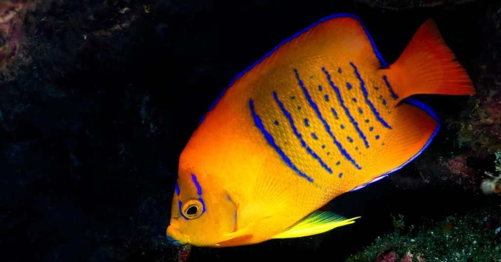 Most Expensive Fish: Clarion Angelfish