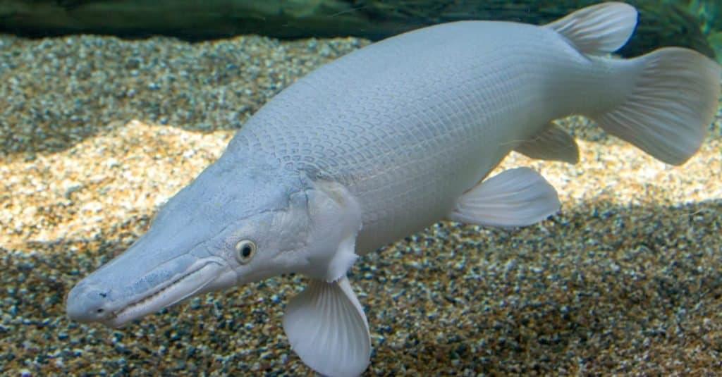 Most Expensive Fish: Platinum Alligator Gar