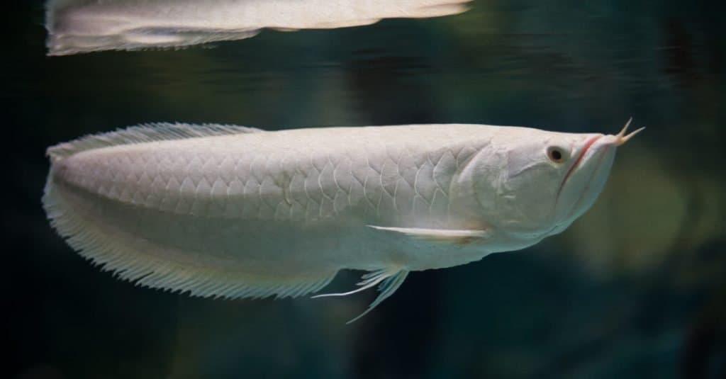 Most Expensive Fish: Platinum Arowana