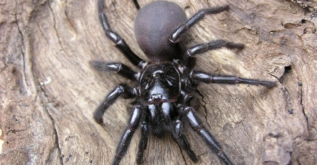 Most Venomous Spider