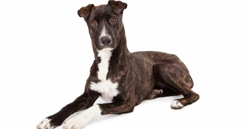 A beautiful Mountain Cur breed dog with a brindle coat laying down