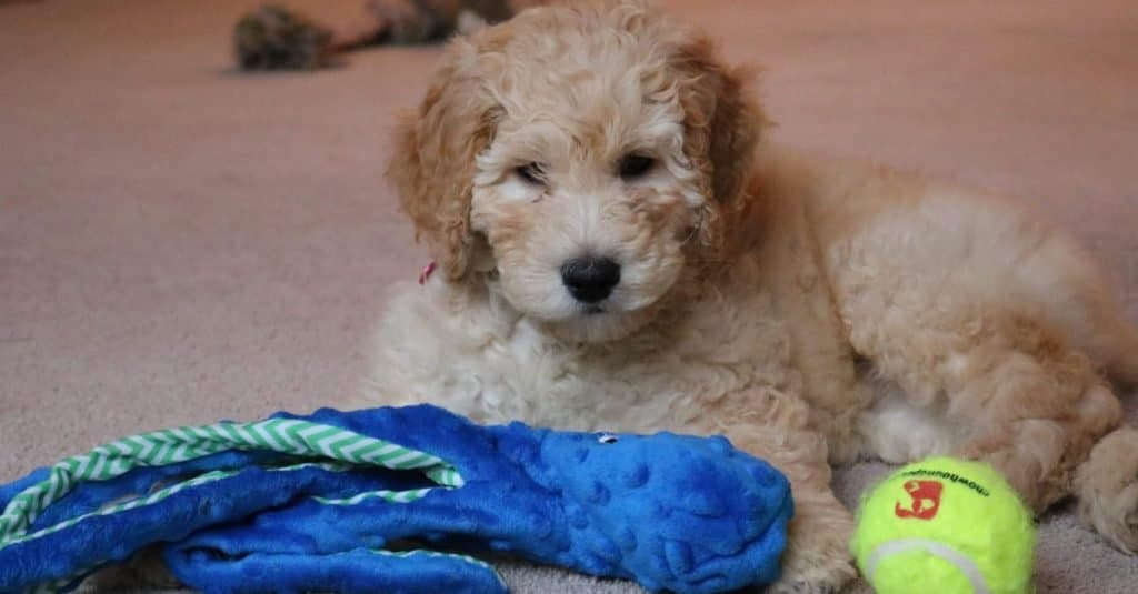 Petite Goldendoodle puppy playing with his toys.
