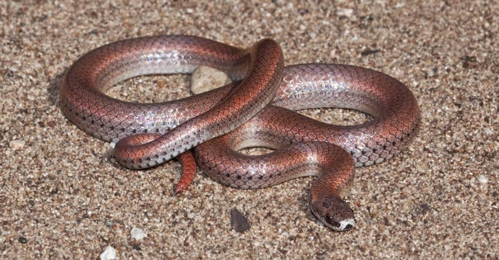 A Sharp-tailed Snake (Contia tenuis), near Lake Nacimiento, San Luis Obispo County, California