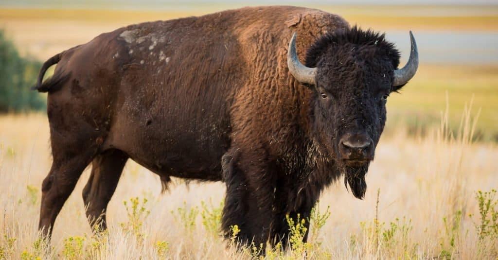 Tallest Animals: American Bison