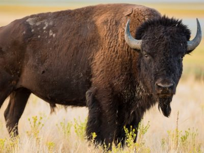 A The 10 Largest Animals In North America
