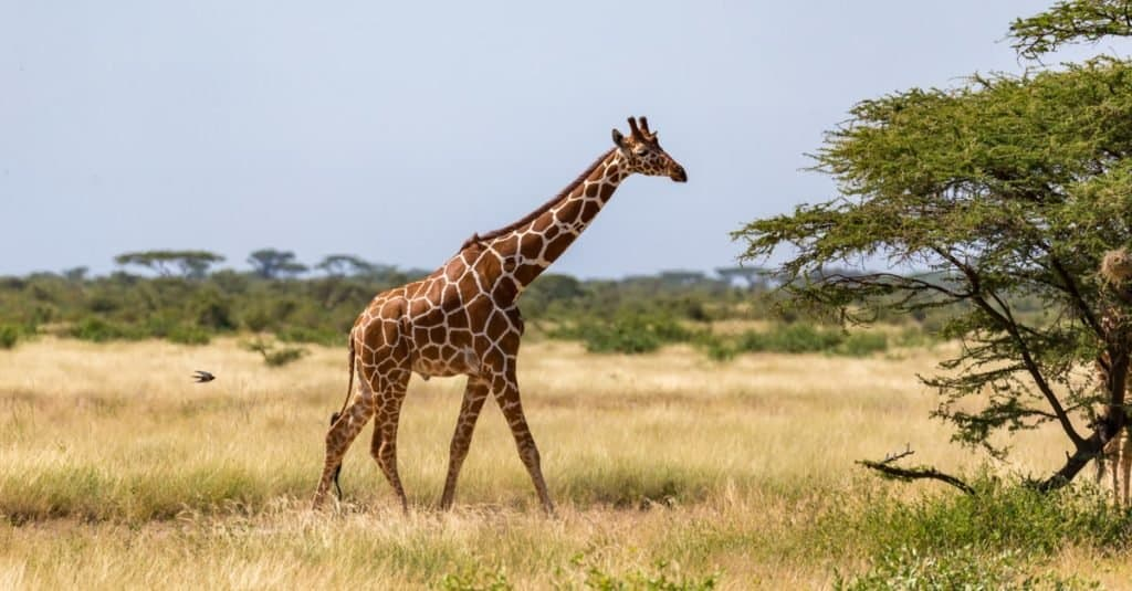 Tallest Animals: Giraffe
