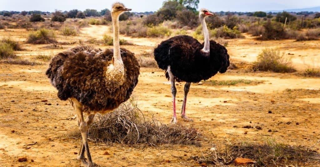 Tallest Animals: Ostrich
