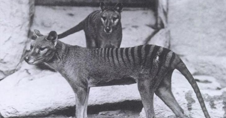 This photo is of a pair of Thylacines, a male and female, received from Dr. Goding in 1902. The Thylacine (Thylacinus cynocephalus) is a large, carnivorous marsupial also known as the Tasmanian Tiger or Tasmanian Wolf. It is now believed to be extinct.