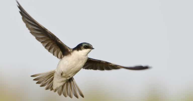 Male Tree Swallow flying