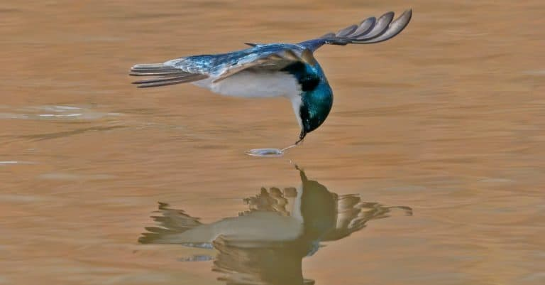 Tree Swallow Gets its Target - a tree swallow grabs its target as it flies over the water surface of a pond. Silverthorne, Colorado.