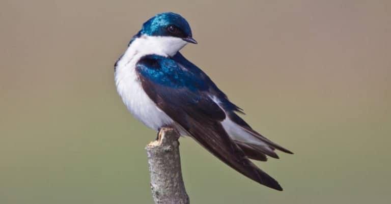 Tree Swallow, Tachycineta bicolor, sitting on a branch.
