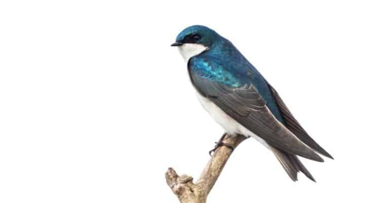 Tree swallow isolated on white background