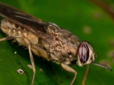 A Tsetse Fly