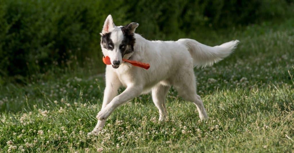 Young Yakutian Laika running through the grass.