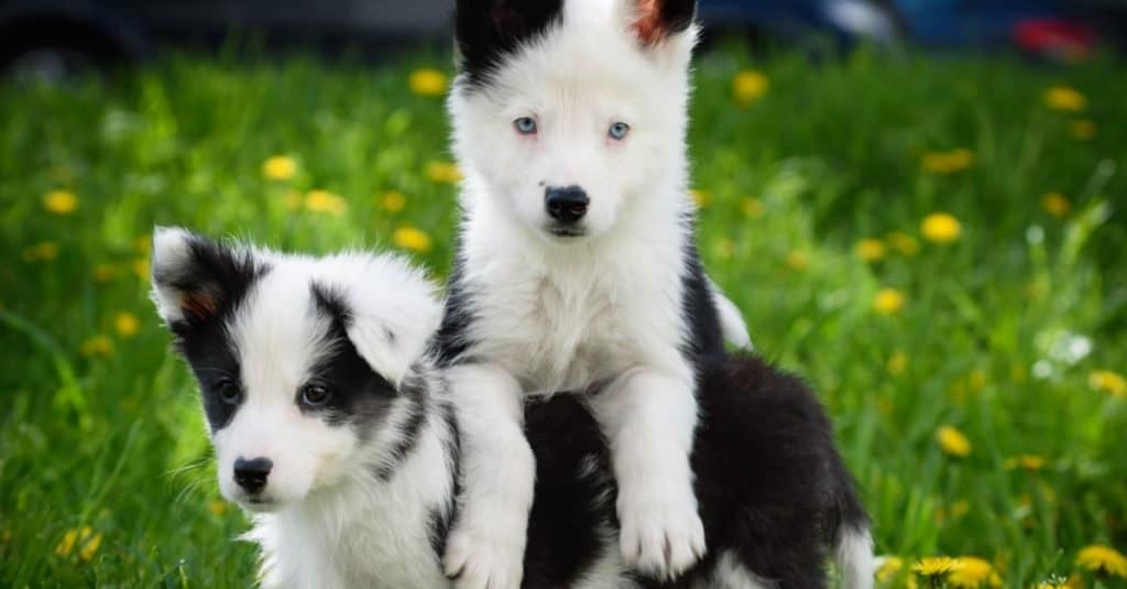 Yakutian Laika puppies playing in the grass.