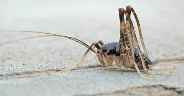 Camel cricket sitting on cement