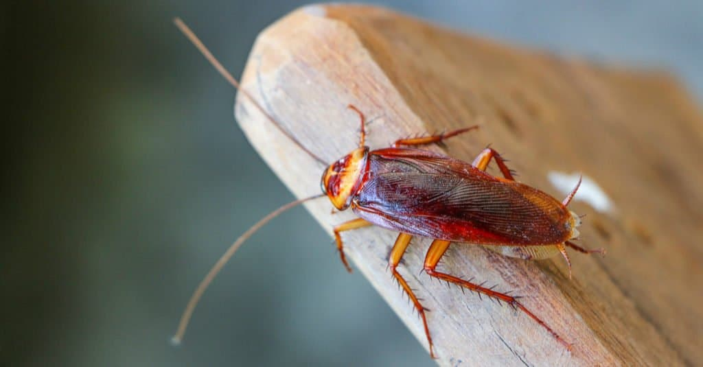Cockroach on a piece of wood