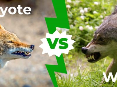 A Coyote vs Wolf: The 6 Key Differences Explained