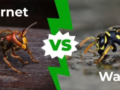 A Hornet vs Wasp – How to Tell the Difference in 3 Easy Steps