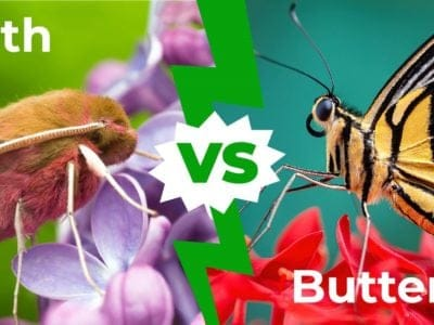 A Moth vs Butterfly: The 8 Key Differences
