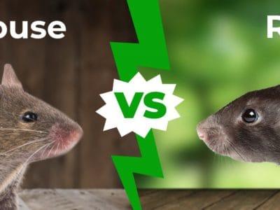 A Mouse vs Rat: 5 Main Differences Explained