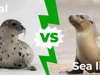A Seals vs Sea Lions: 5 Major Differences Explained