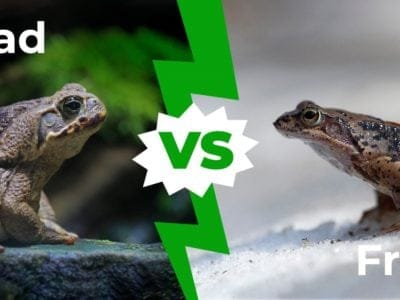 A Toad vs Frog: The Six Key Differences Explained