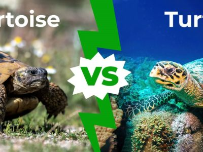 A Tortoise vs Turtle: 10 Biggest Differences Explained