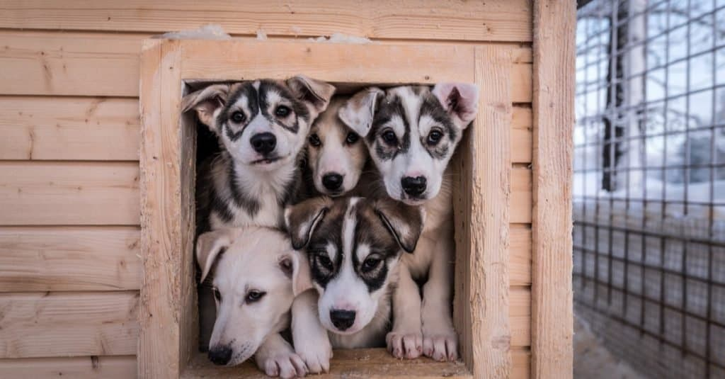 Five Alaskan husky puppies looking out from their house.