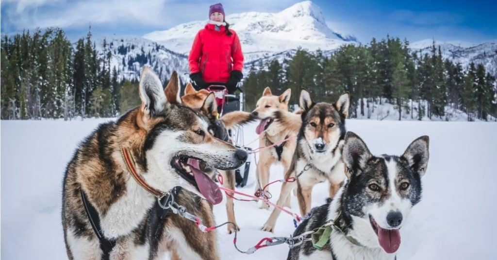 Alaskan husky sled dogs ready to go into the Arctic mountain wilderness.