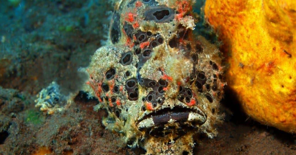 Animals that use mimicry – Anglerfish