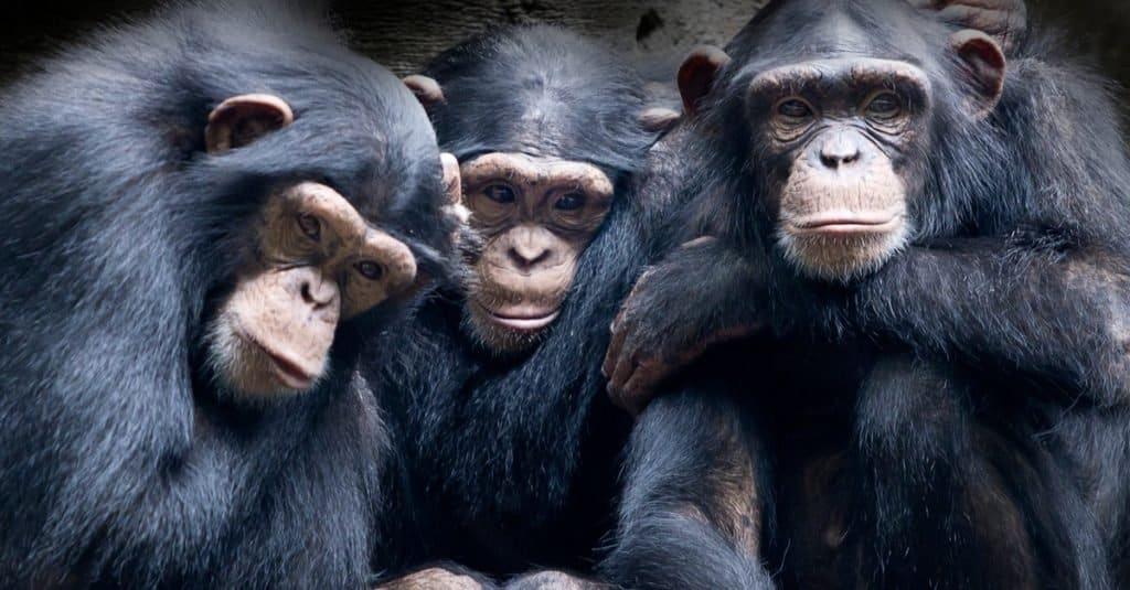 Animal Facts: Chimpanzees