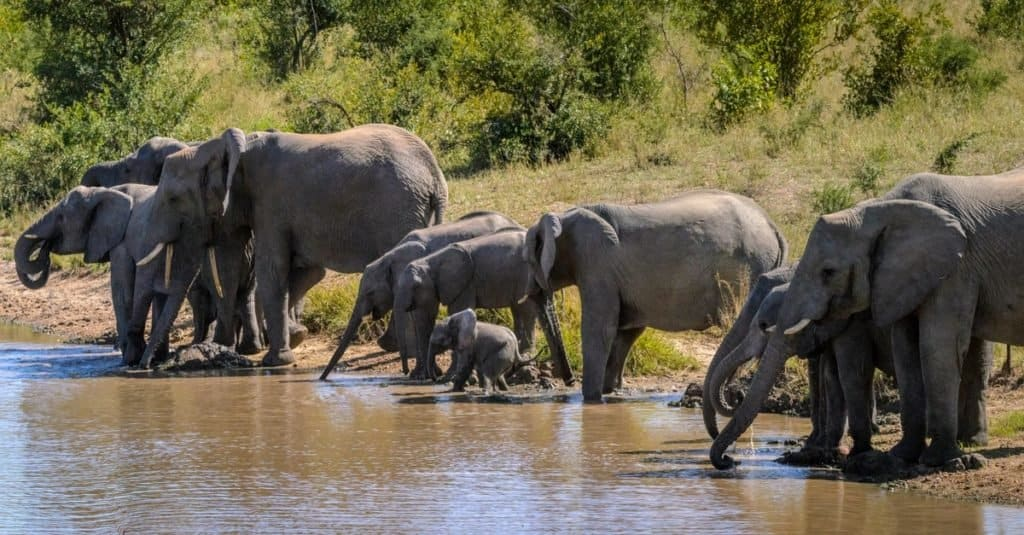 Animal Facts: Elephants