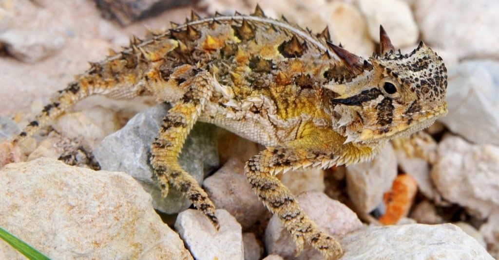 Animal Facts: Horned Lizards