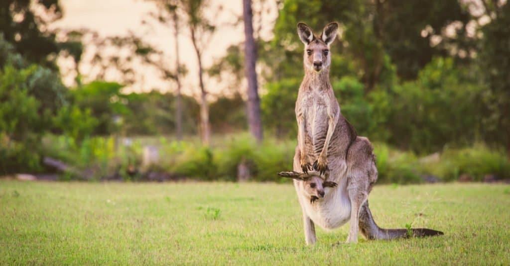 Animal Facts: A Baby Kangaroo