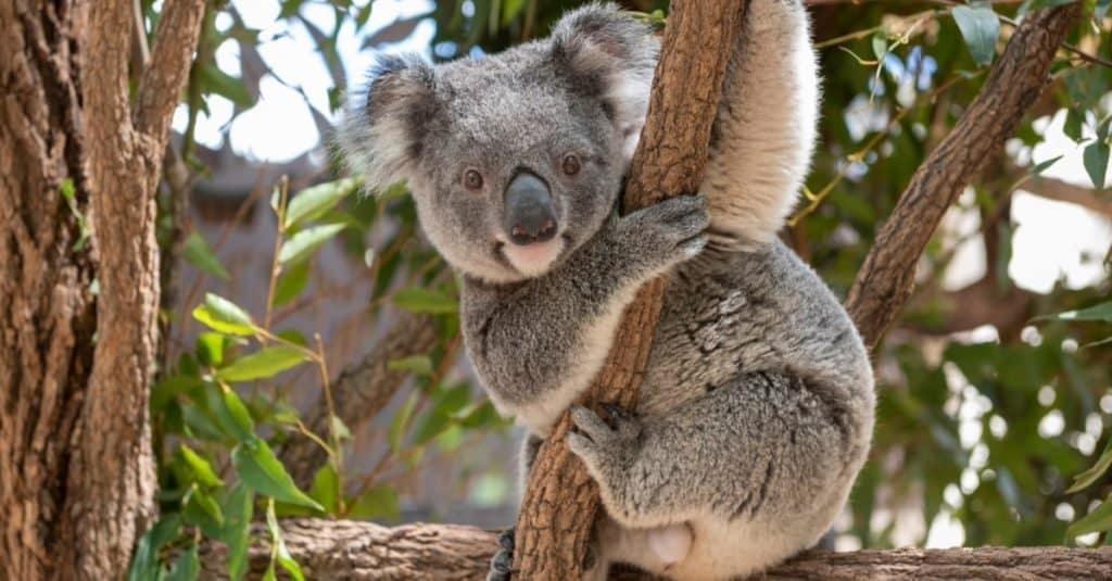 Animal Facts: Koalas