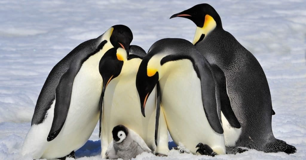 Animal Facts: Penguins