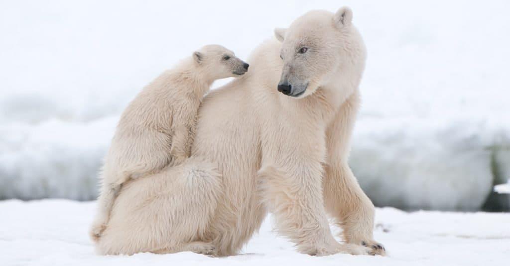 Animal Facts: Polar Bears